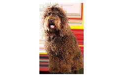 Dog Breed Barbet