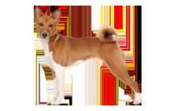 Dog Breed Basenji