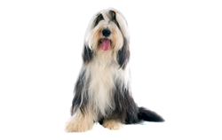 Dog Breed Bearded Collie