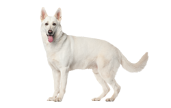 Dog Breed Berger Blanc Suisse