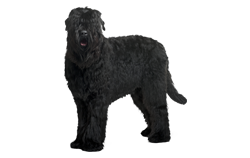 Dog Breed Black Russian Terrier