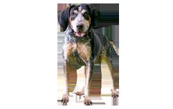 Dog Breed Bluetick Coonhound