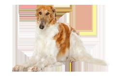 Dog Breed Borzoi