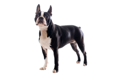 Dog Breed Boston Terrier