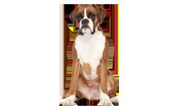 Dog Breed Boxer