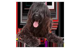 Dog Breed Briard