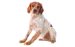 Dog Breed Brittany