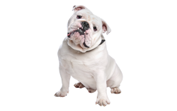 Dog Breed Bulldog