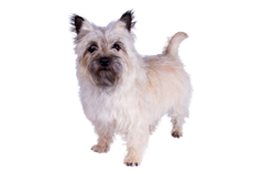 Dog Breed Cairn Terrier