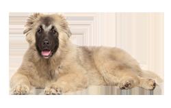 Dog Breed Caucasian Shepherd