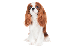 Dog Breed cavalier