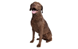 Dog Breed Chesapeake Bay Retriever