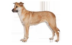 Dog Breed Chinook