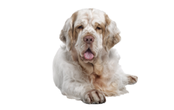 Dog Breed Clumber Spaniel