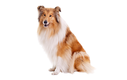 Dog Breed Collie