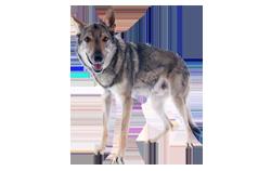 Dog Breed Czechoslovakian Wolfdog