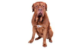 Dog Breed Dogue de Bordeaux