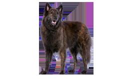 Dog Breed Dutch Shepherd