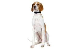 Dog Breed English Pointer