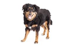 Dog Breed English Shepherd