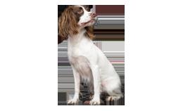 Dog Breed English Springer Spaniel