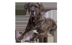Dog Breed Fila Brasileiro