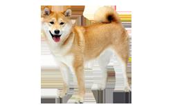 Dog Breed Finnish Spitz