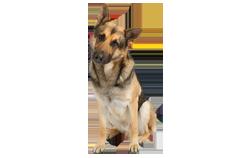 Dog Breed German Shepherd