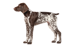 Dog Breed German Shorthaired Pointer