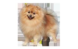Dog Breed German Spitz