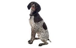 Dog Breed German Wirehaired Pointer