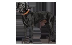 Dog Breed Great Dane