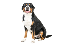 Dog Breed Greater Swiss Mountain Dog