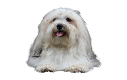 Dog Breed Havanese