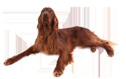 Dog Breed Irish Setter
