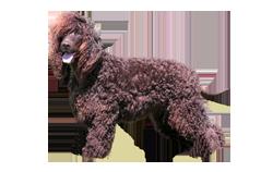 Dog Breed Irish Water Spaniel
