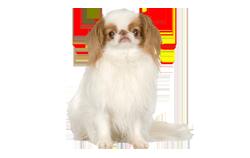 Dog Breed Japanese Chin