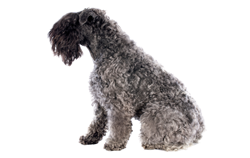 Dog Breed Kerry Blue Terrier