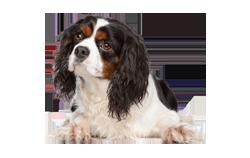 Dog Breed King Charles Spaniel