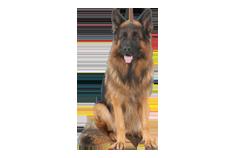 Dog Breed King Shepherd
