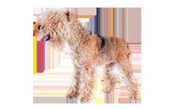 Dog Breed Lakeland Terrier
