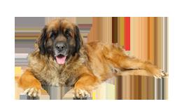 Dog Breed Leonberger