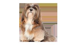 Dog Breed Lhasa Apso