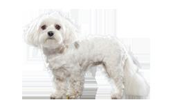 Dog Breed Maltese