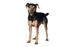 Dog Breed Manchester Terrier