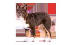 Dog Breed Miniature American Shepherd