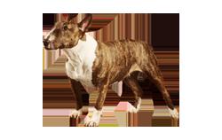 Dog Breed Miniature Bull Terrier