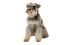 Dog Breed Miniature Schnauzer