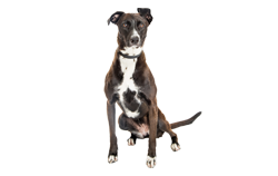 Dog Breed Mountain Cur