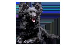 Dog Breed Mudi